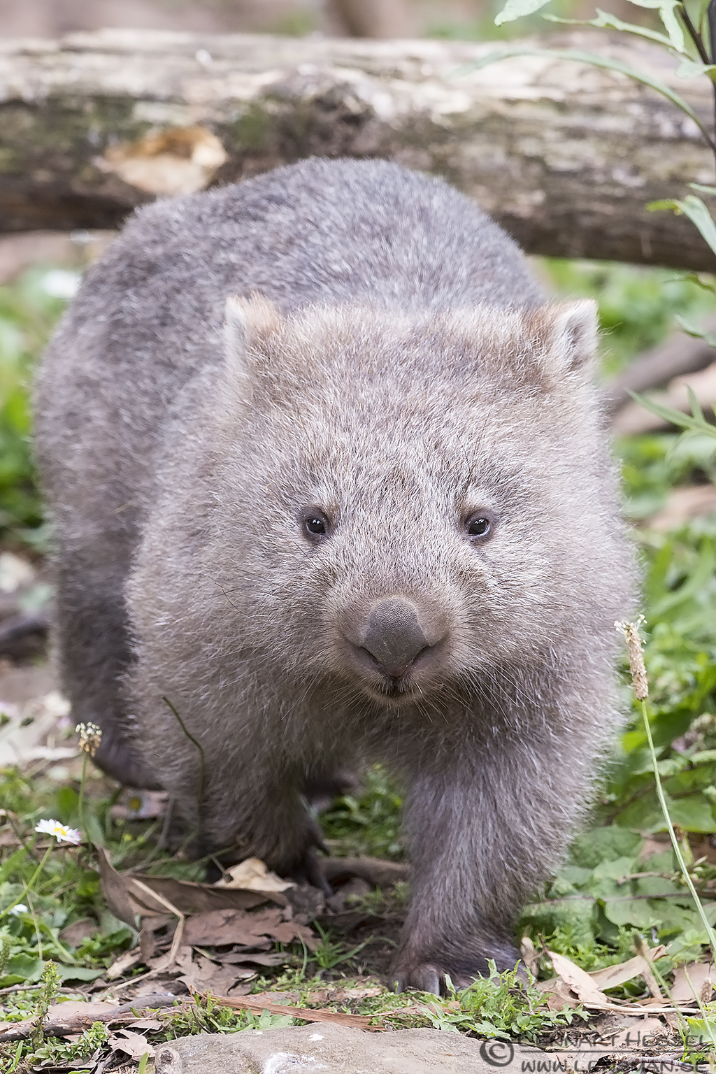 Wombat Trowunna Tasmania
