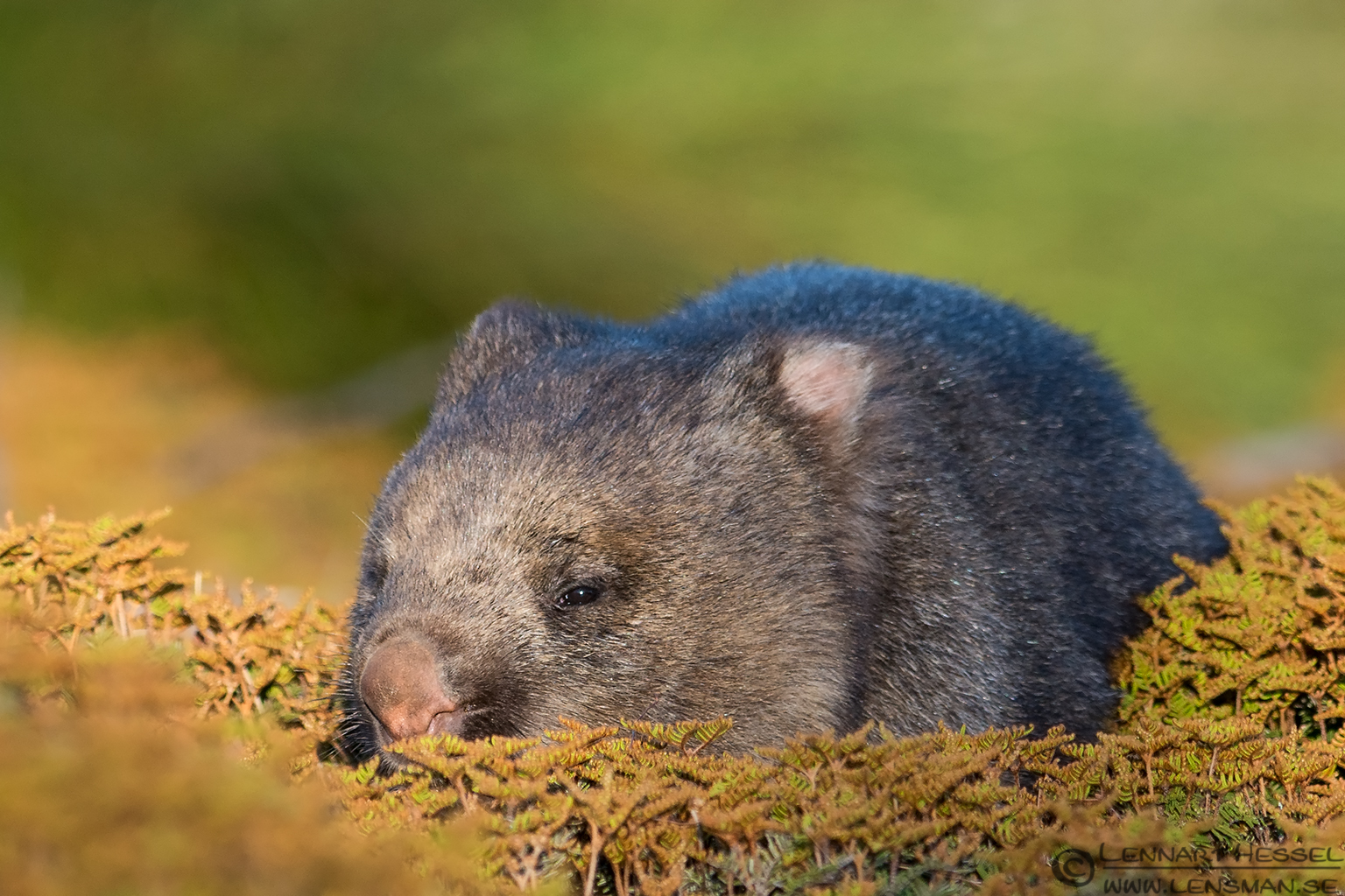 Wombat Cradle mountain Tasmania