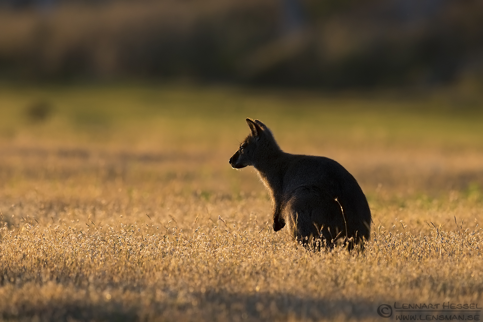 Red-necked Wallaby Narawntapu Tasmania