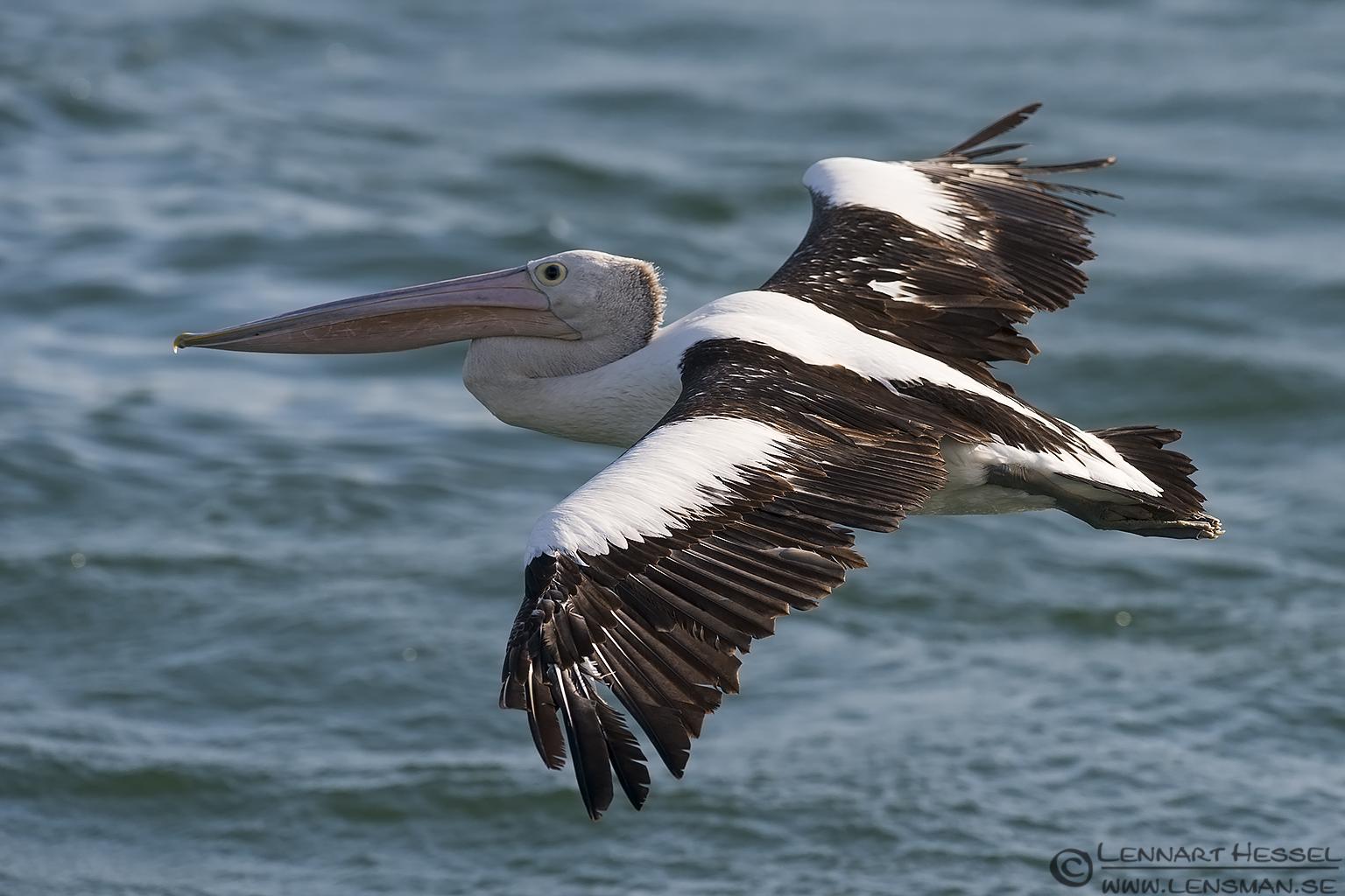 Australian Pelican Australia Victoria Lakes Entrance