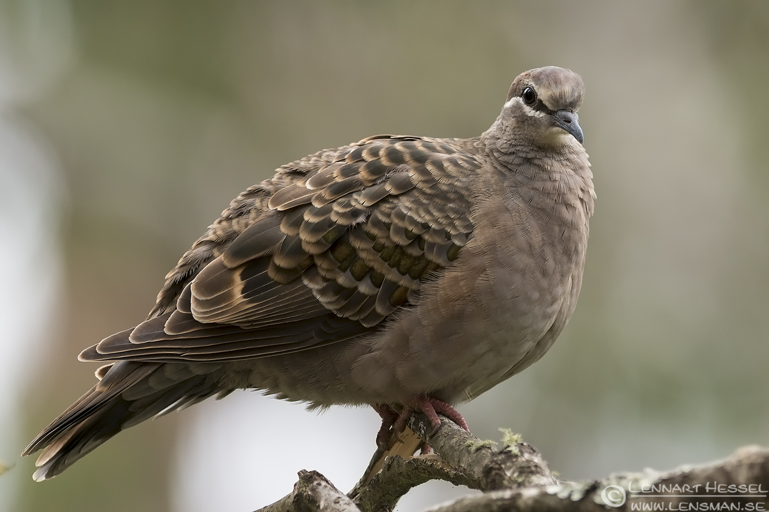 Common Bronzewing Australia Victoria Lakes Entrance