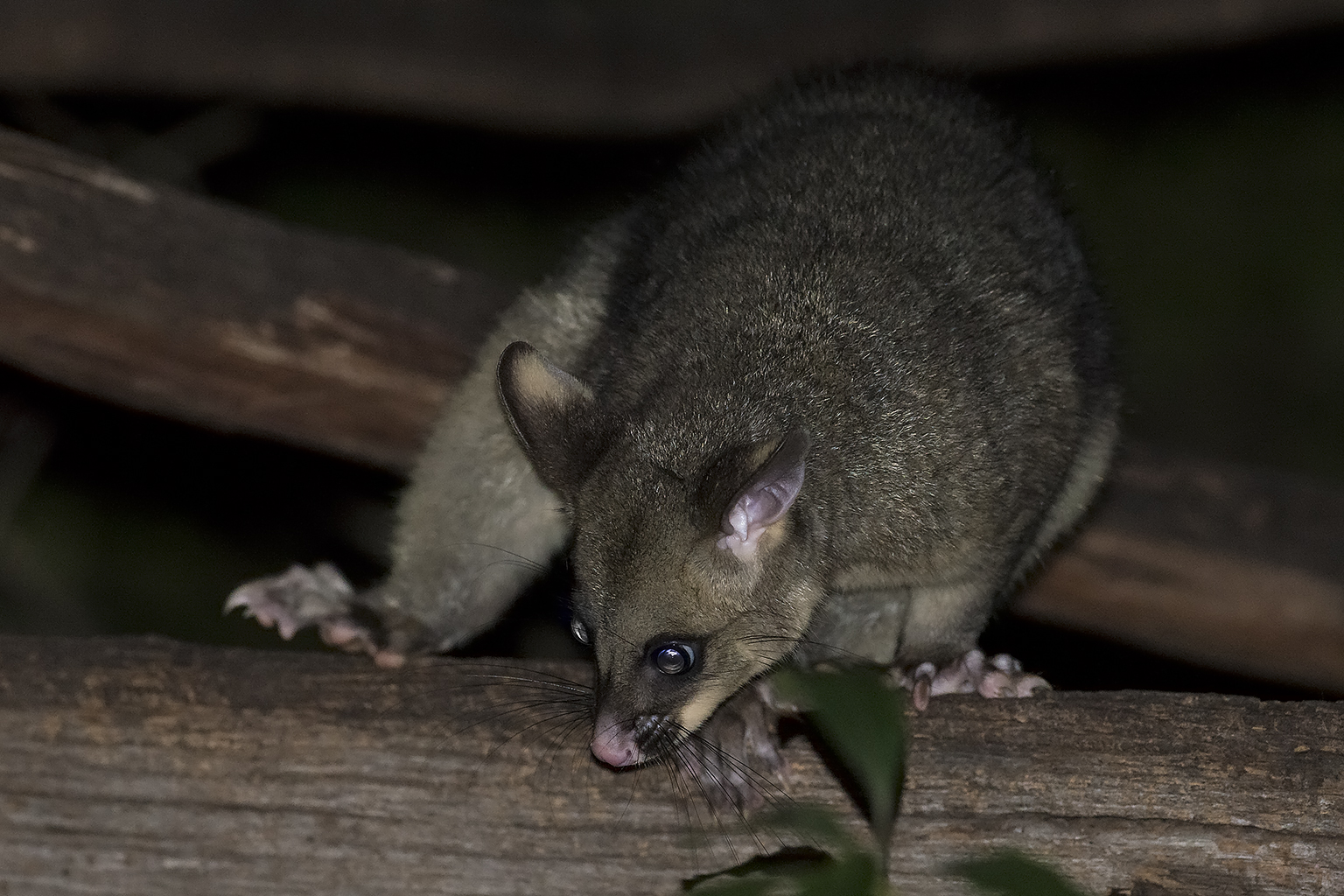 Common bushtail possum Australia Victoria Lakes Entrance