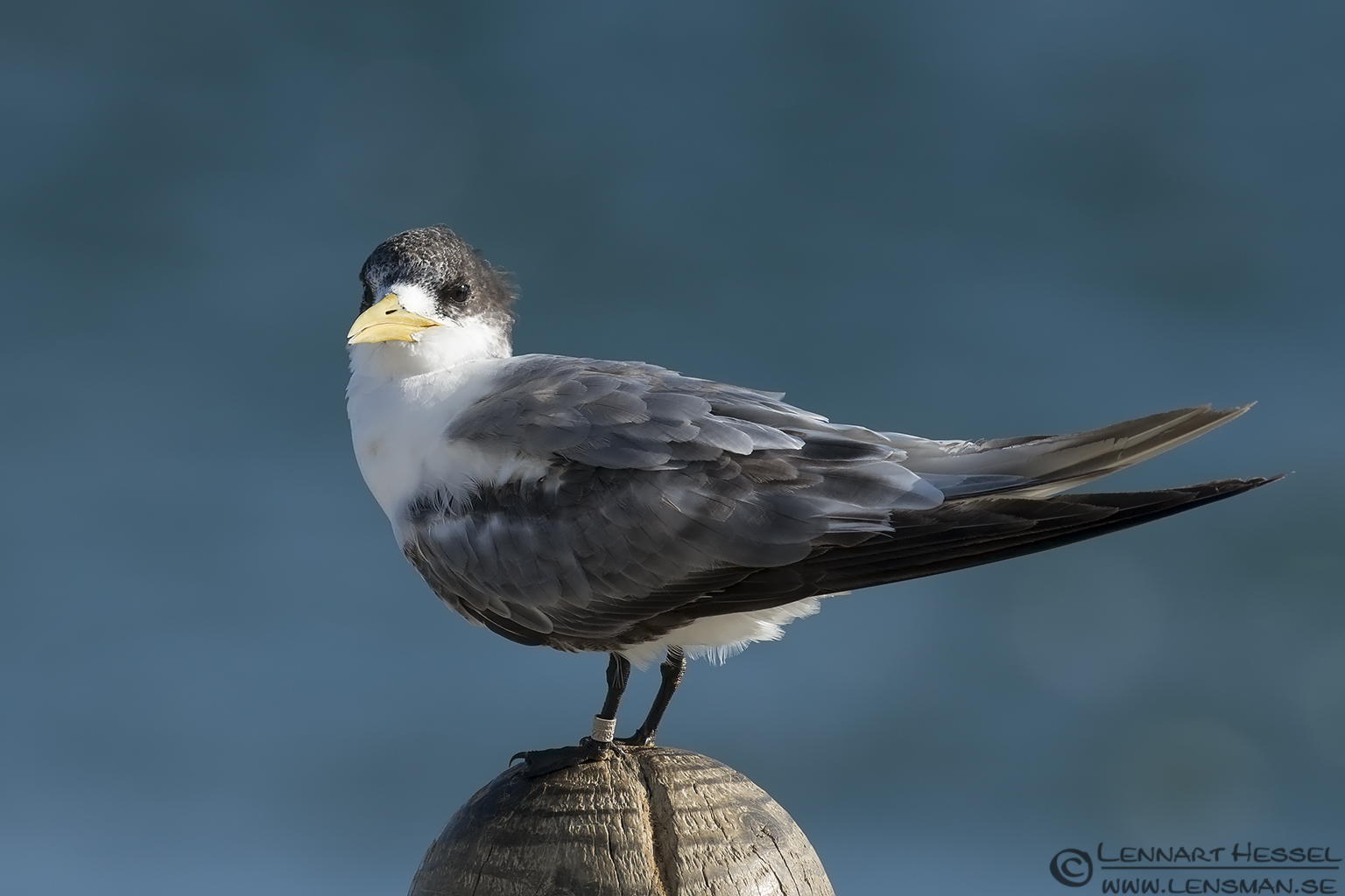 Crested Tern Australia Victoria Lakes Entrance