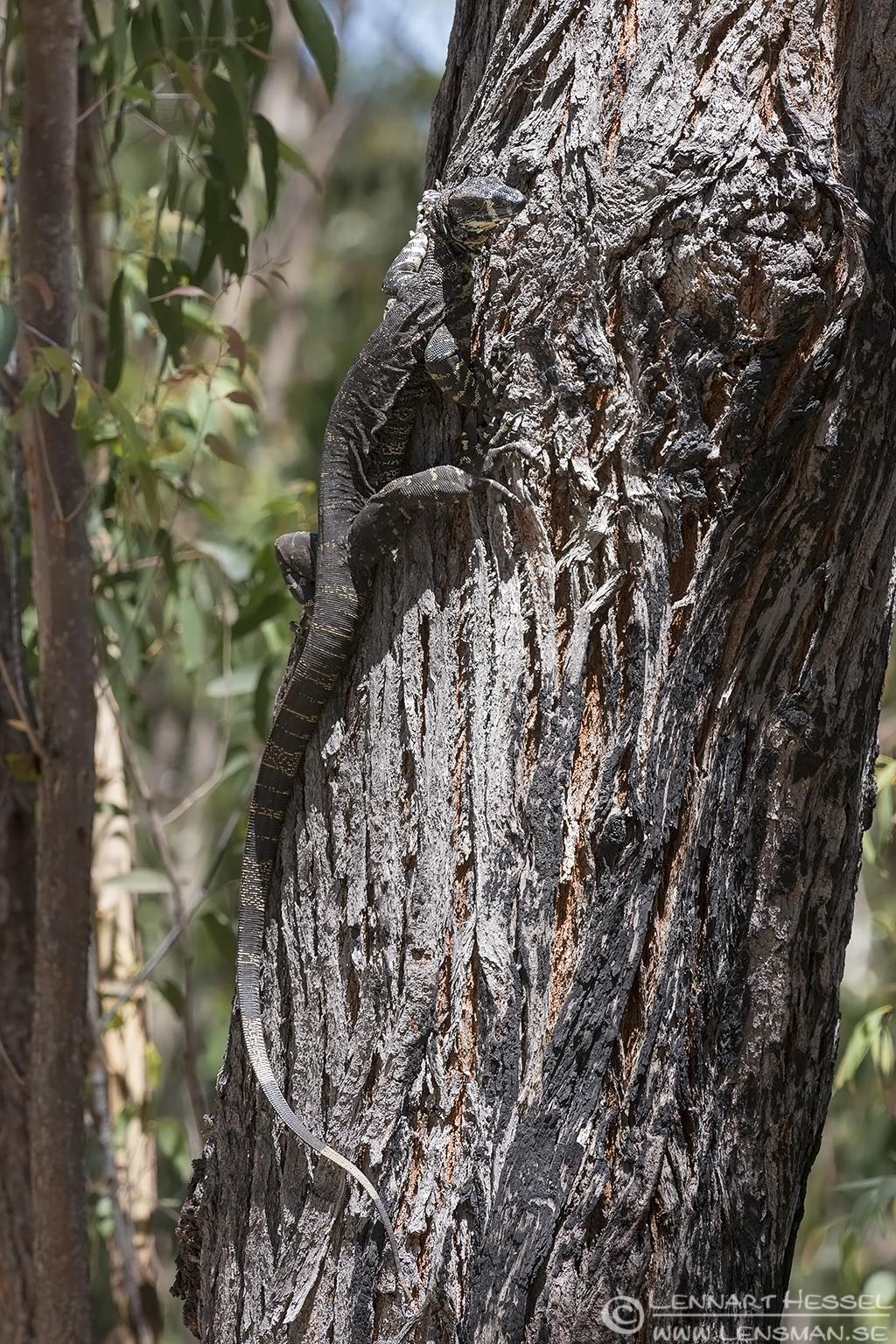 Lace monitor Australia Victoria Croajingolong