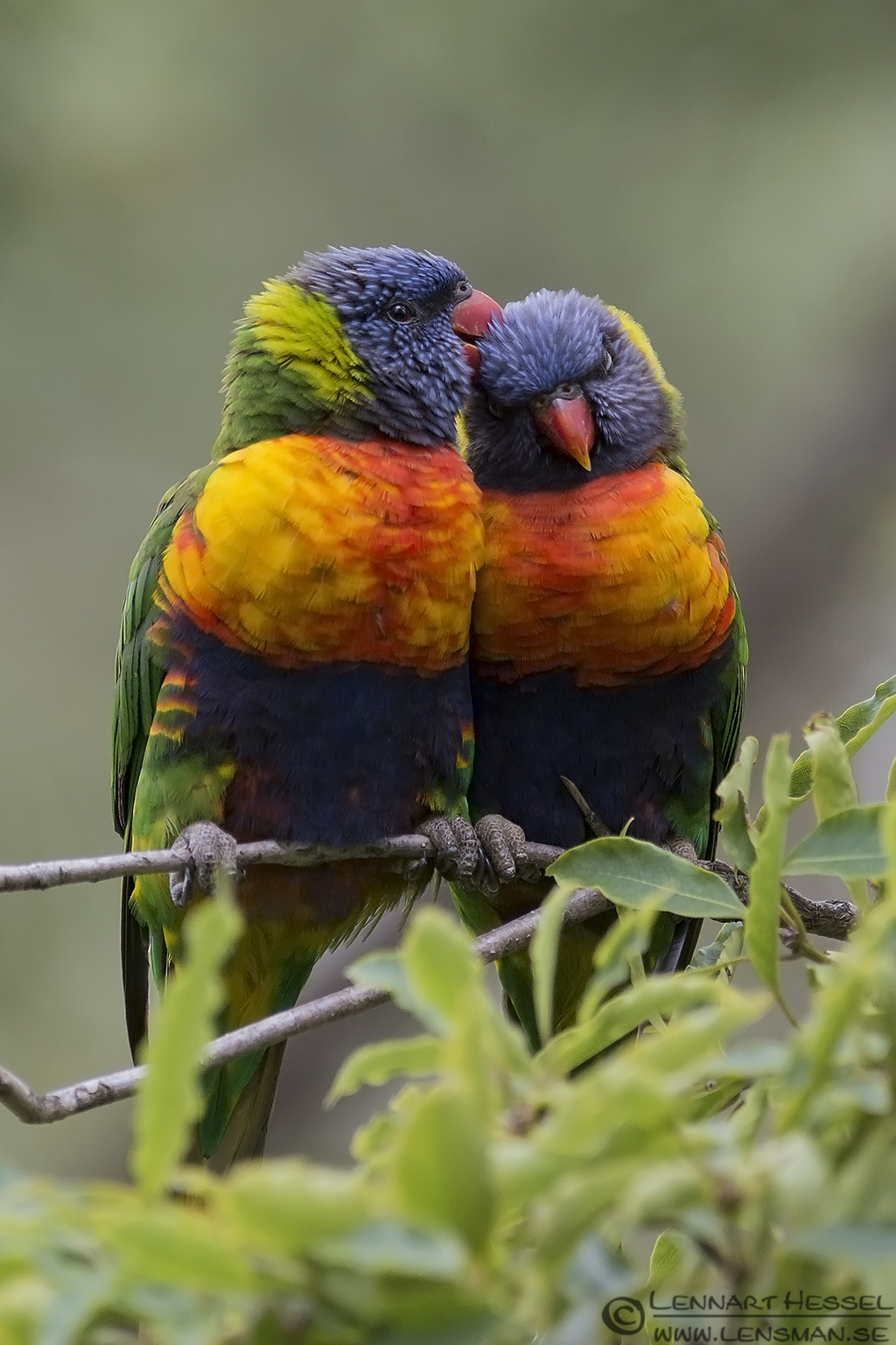Rainbow Lorikeet Australia Victoria Lakes Entrance