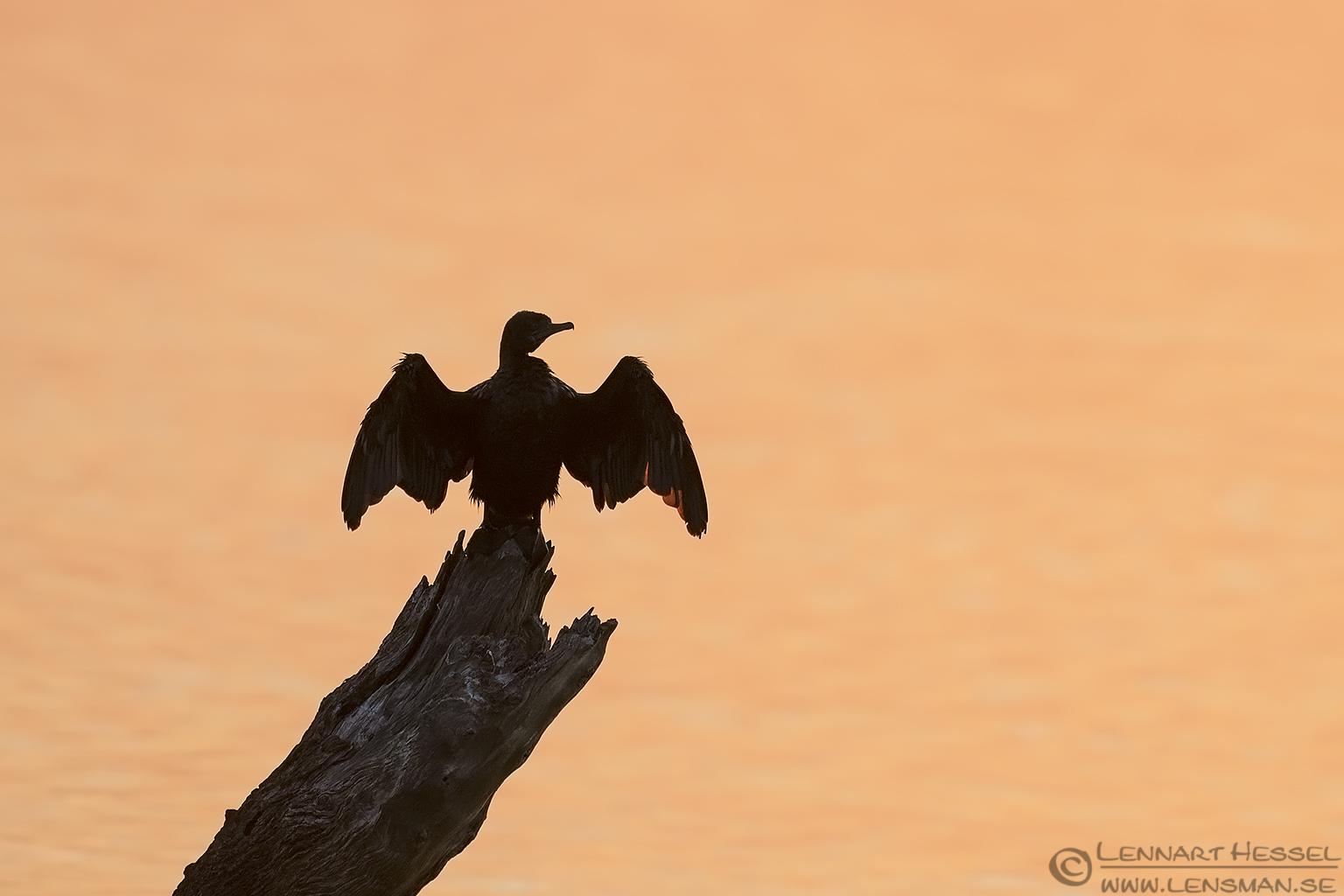 Sunning Cormorant Australia Victoria Metung