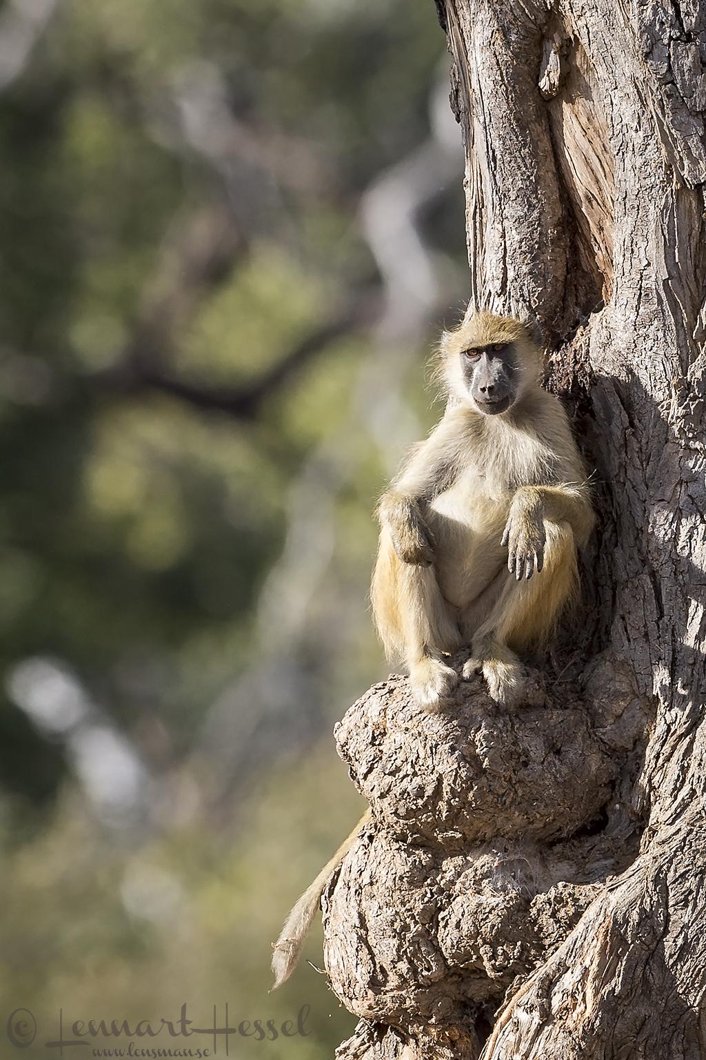 Chacma Baboon Mana Pools National Park Zimbabwe