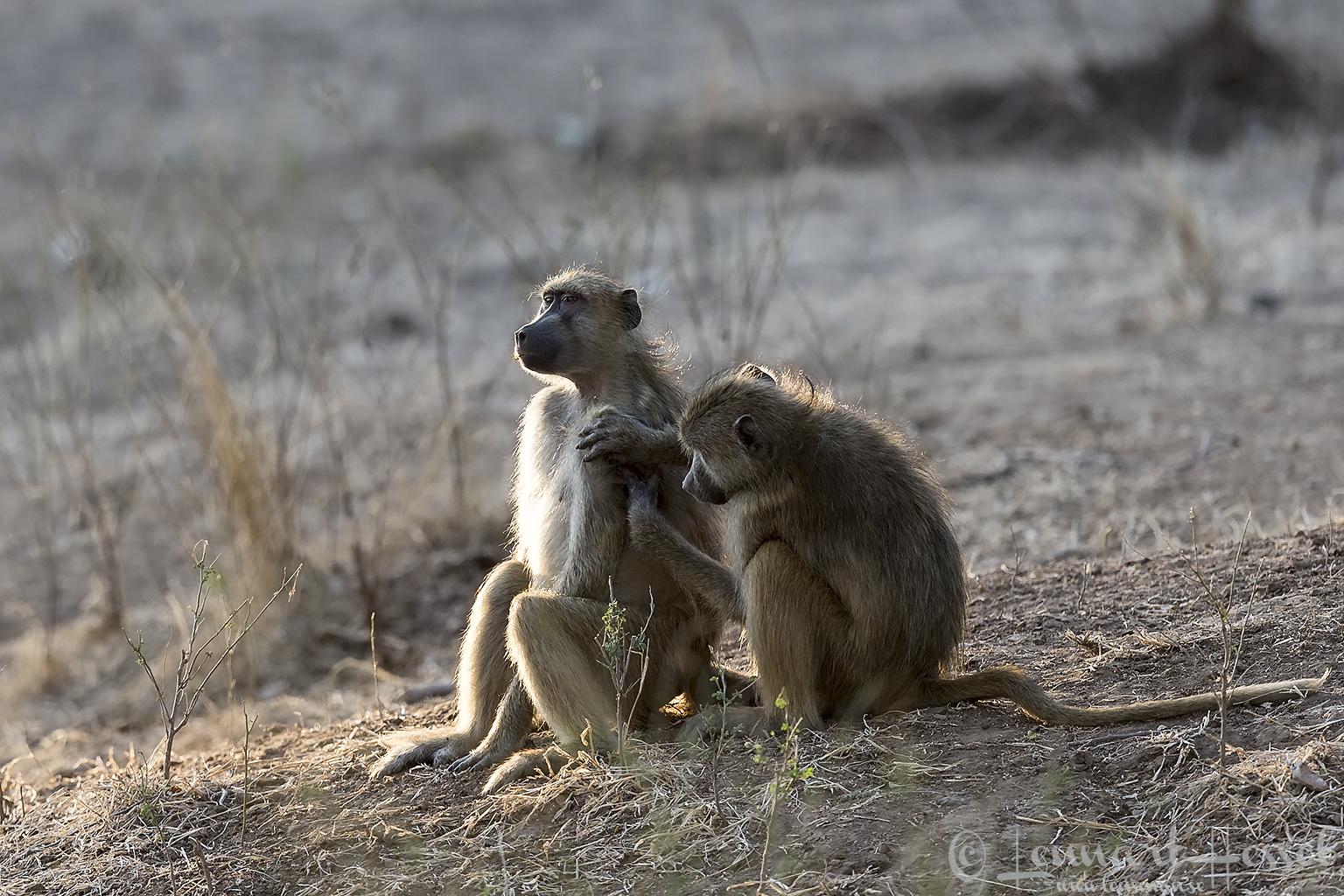 Grooming Chacma Baboons Mana Pools National Park Zimbabwe