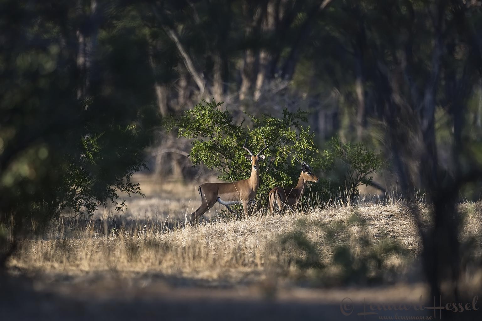 Impalas Mana Pools National Park Zimbabwe