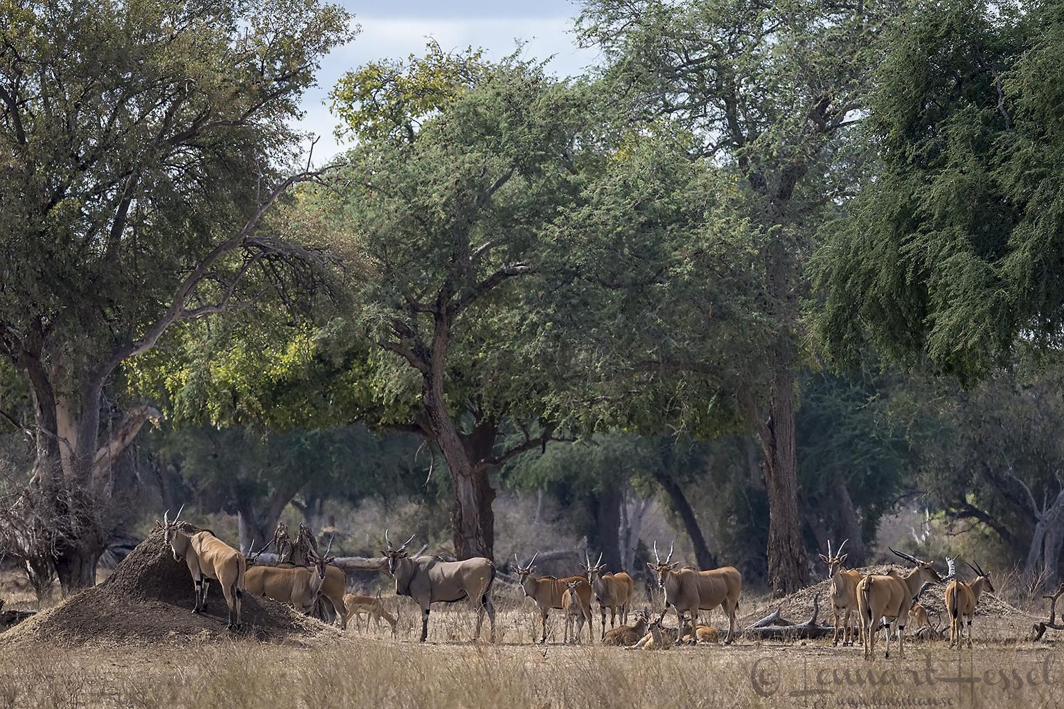 Eland herd Mana Pools National Park Zimbabwe