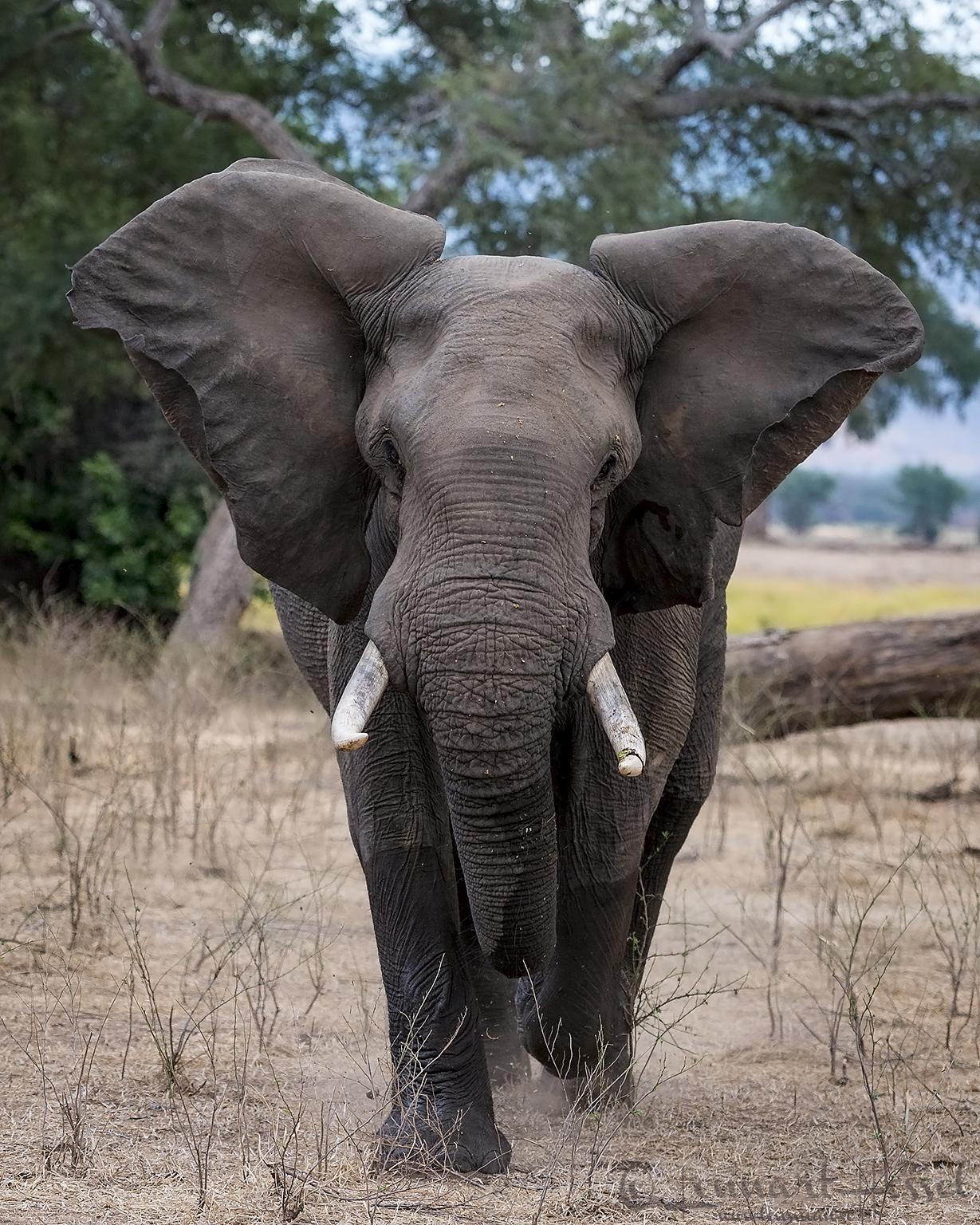 Elephant charge Mana Pools National Park Zimbabwe
