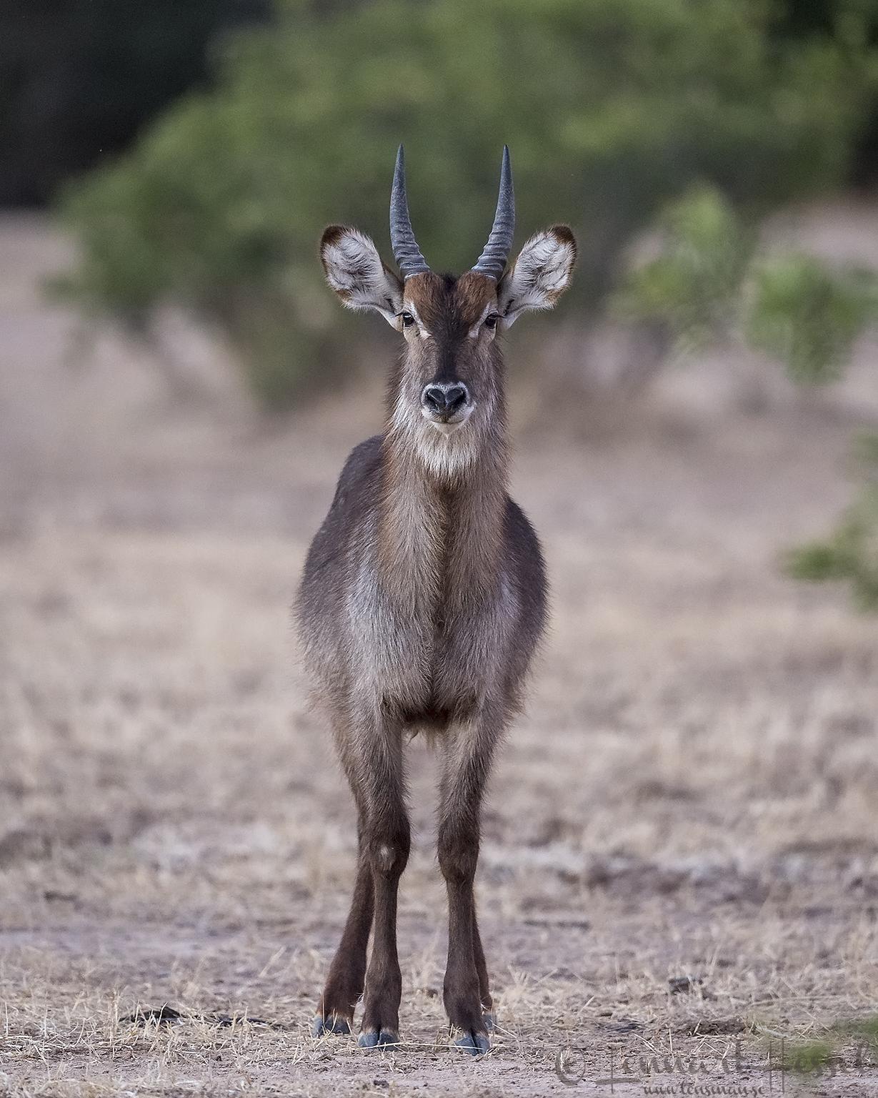Waterbuck Mana Pools National Park Zimbabwe