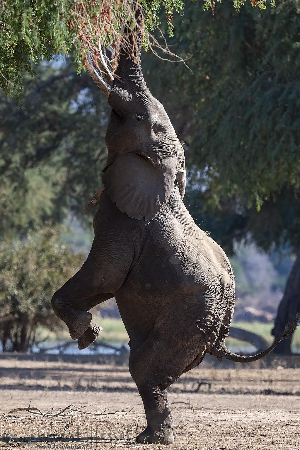 Boswell seen on safari in Mana Pools