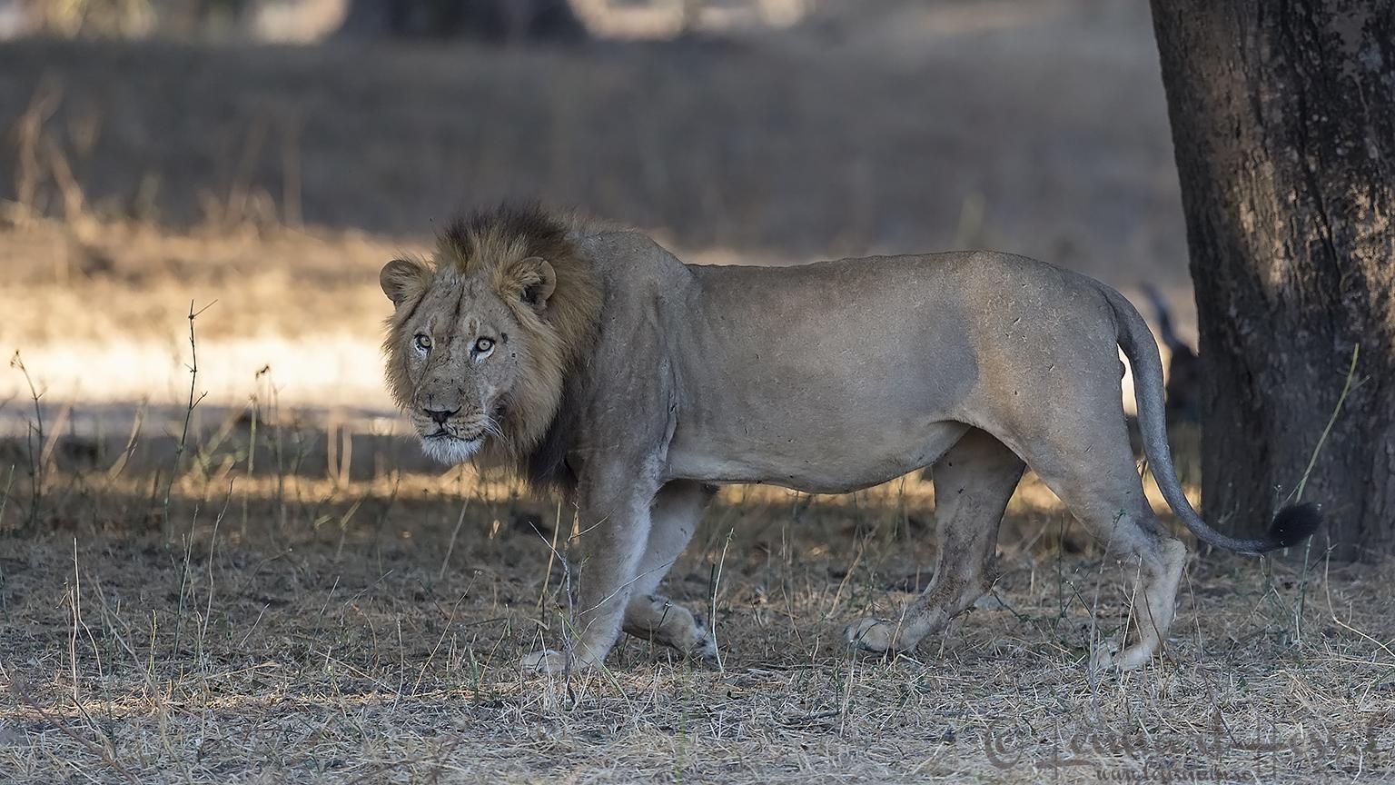 Male Lion seen on safari in Mana Pools