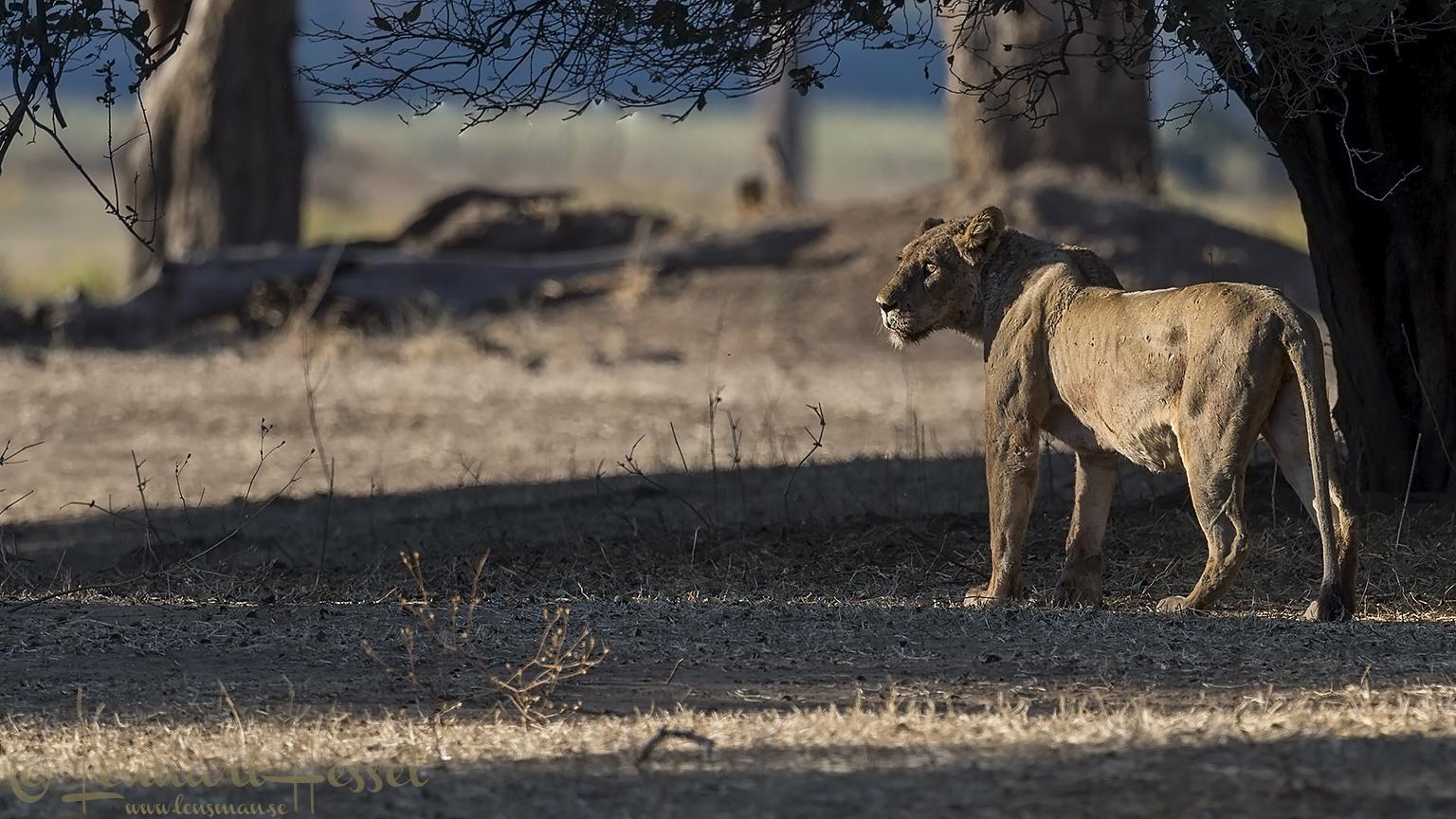 Lioness seen on safari in Mana Pools