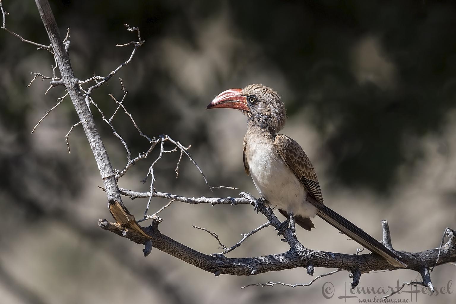 Crowned Hornbill Mana Pools National Park Zimbabwe