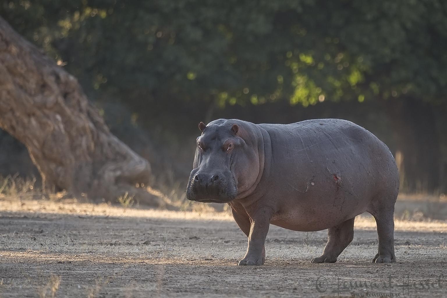 Hippo Mana Pools National Park Zimbabwe