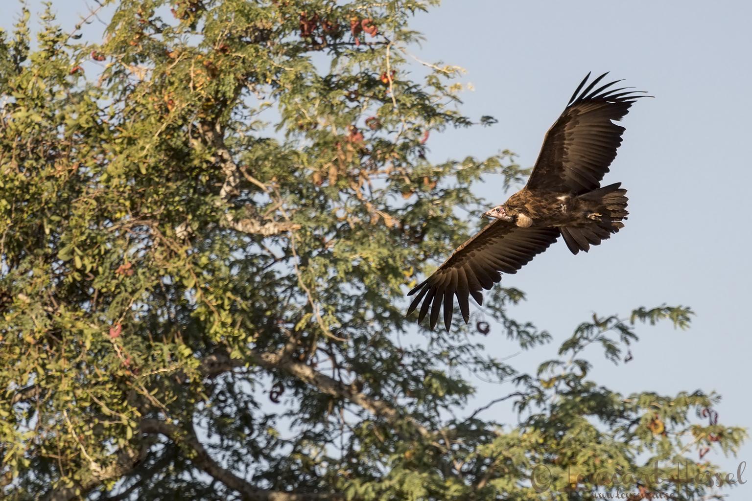 Hooded Vulture Mana Pools National Park Zimbabwe