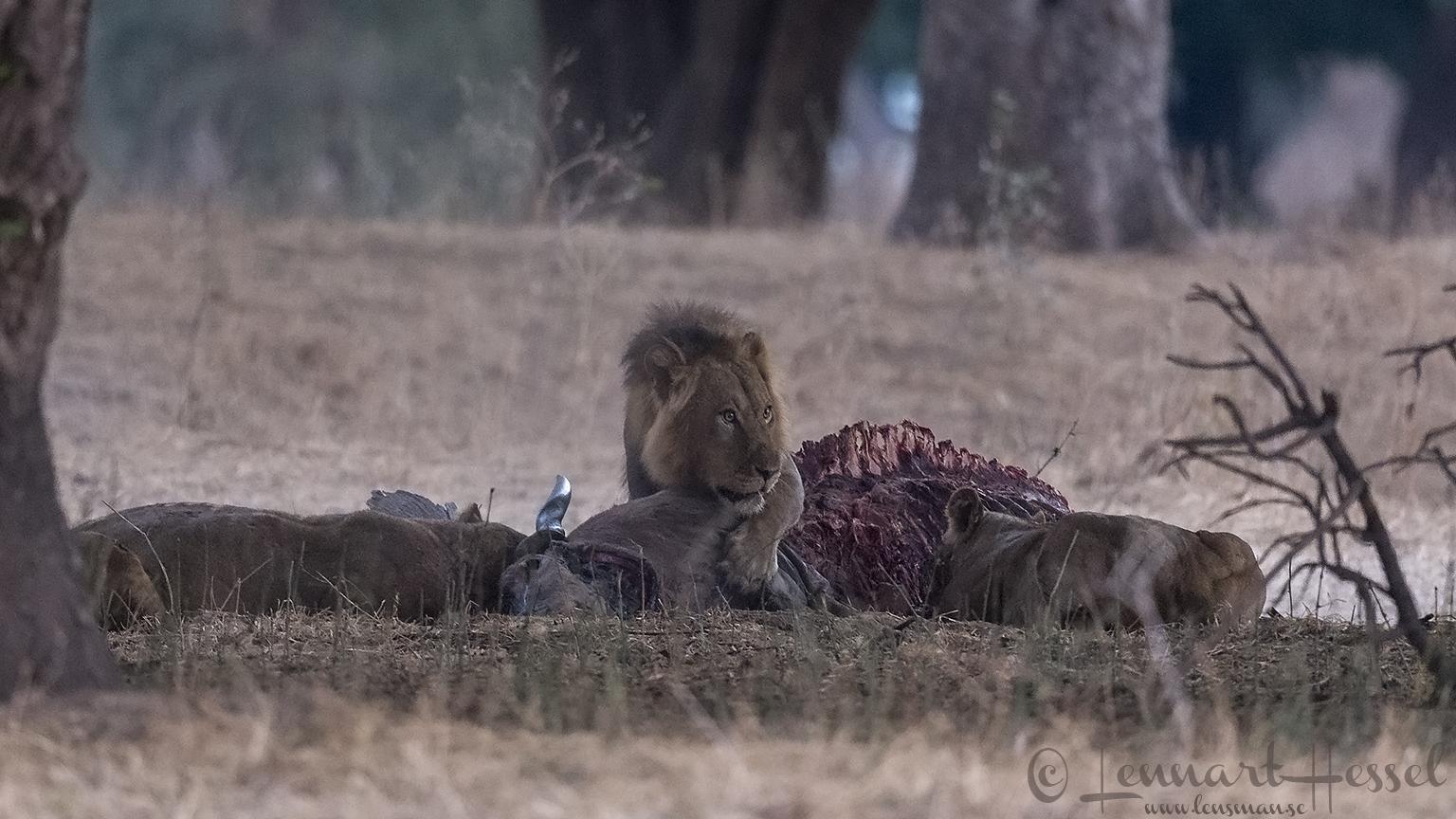 Lions at kill Mana Pools National Park Zimbabwe