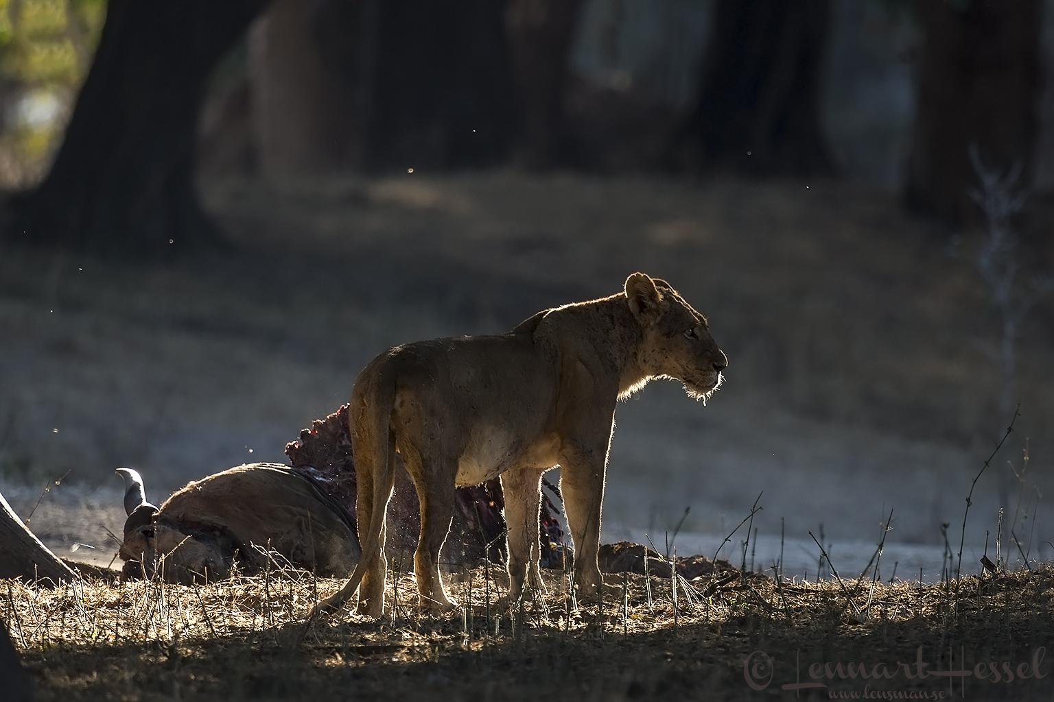 Lioness at kill Mana Pools National Park Zimbabwe