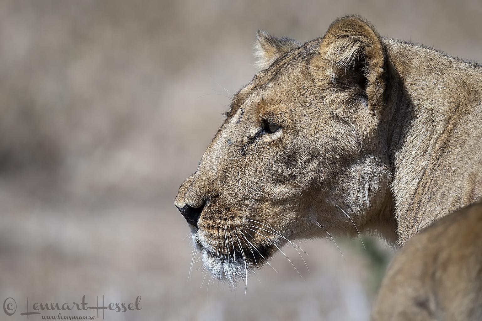 Lioness Mana Pools National Park Zimbabwe