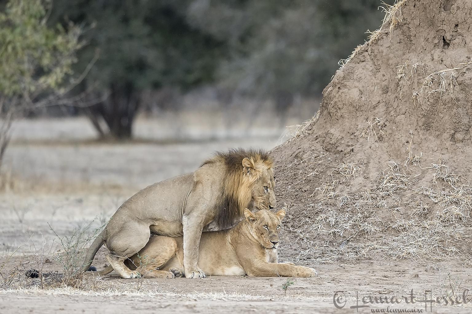 Mating Lions Mana Pools National Park Zimbabwe