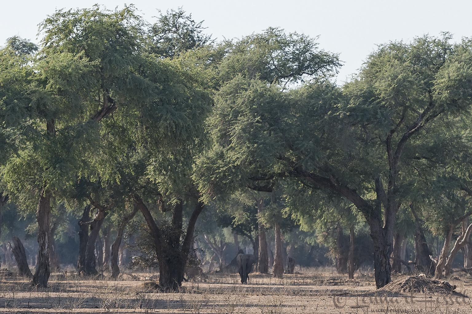 Elephant in the woods Mana Pools National Park Zimbabwe
