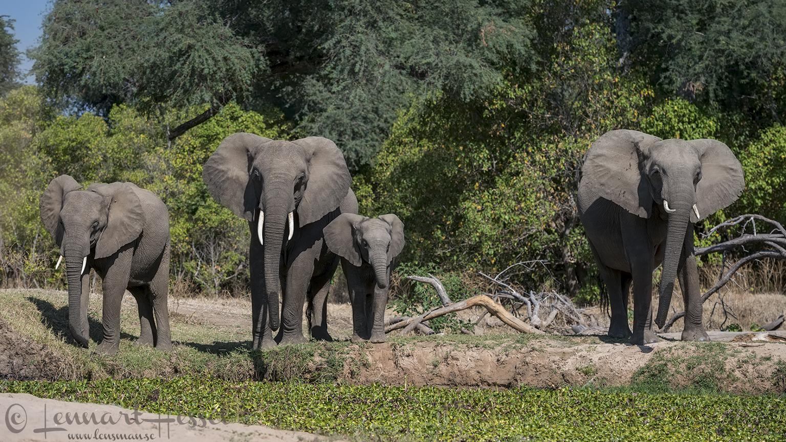 Elephants Mana Pools National Park Zimbabwe
