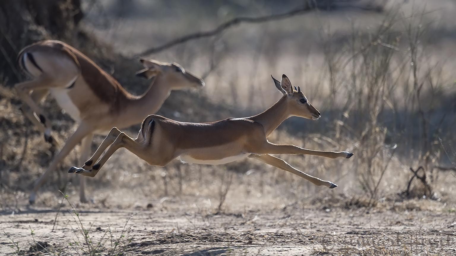 Running Impalas Mana Pools National Park Zimbabwe