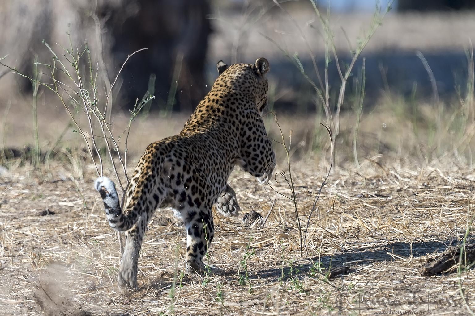 Leopardess Mana Pools National Park Zimbabwe