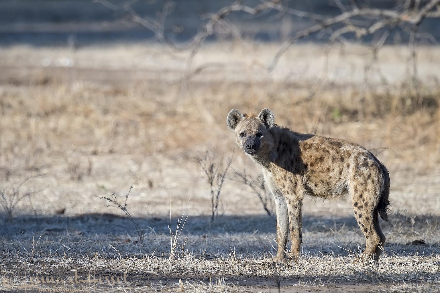 Spotted Hyena Mana Pools National Park Zimbabwe