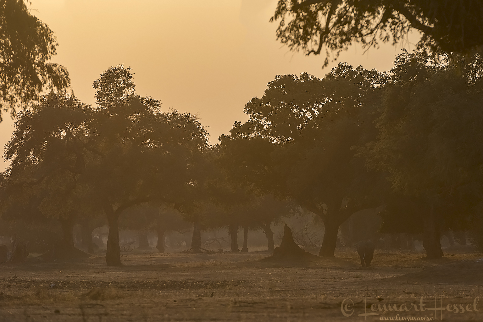Elephant in golden light Mana Pools National Park Zimbabwe