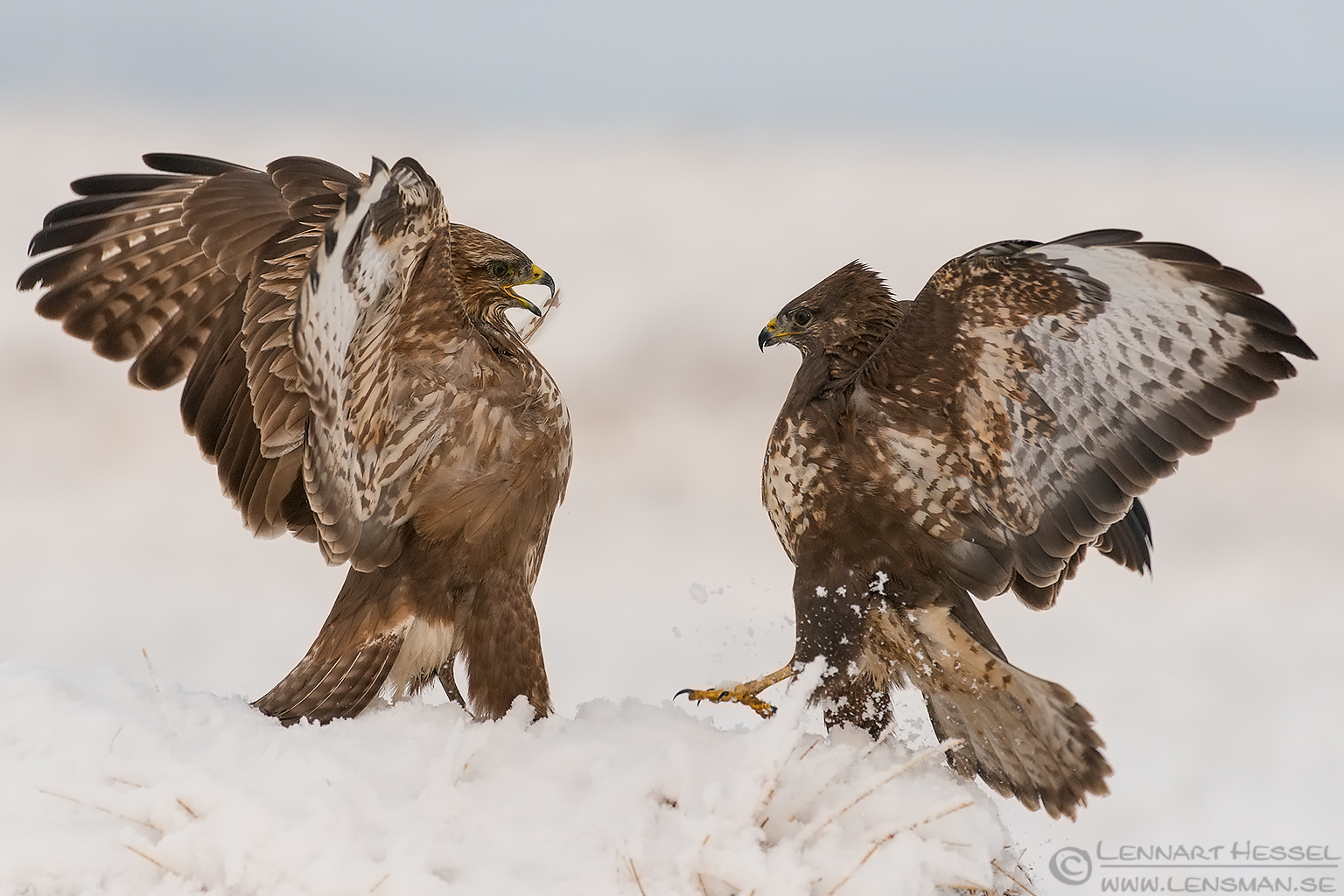 Common Buzzards tand of Hungary Birds of Prey