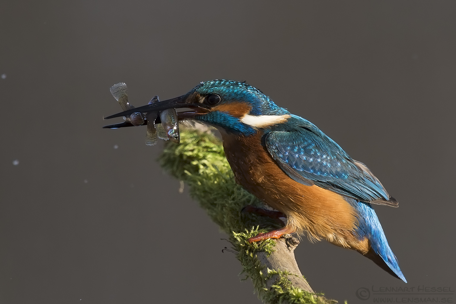 Common Kingfisher with catch Hungary Birds of Prey