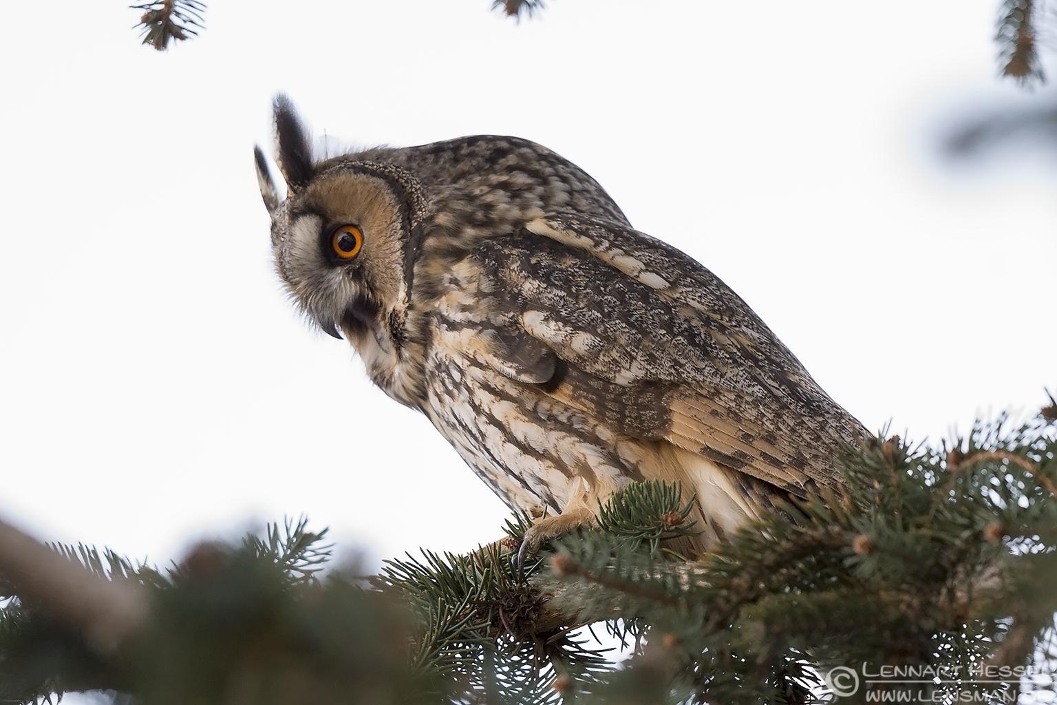 Long-eared Owl Hungary Birds of Prey