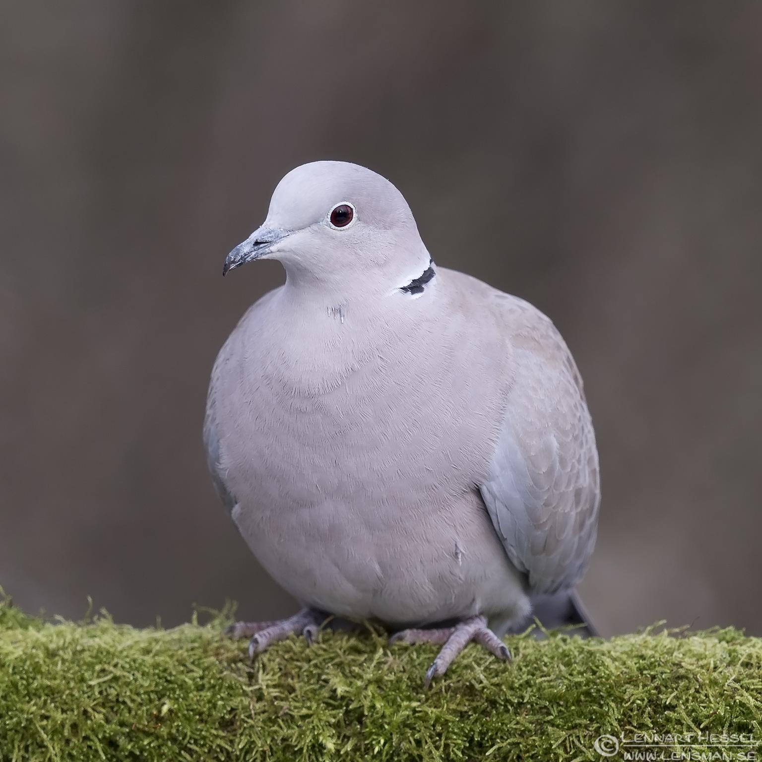 Eurasian Collared Dove Hungary Birds of Prey