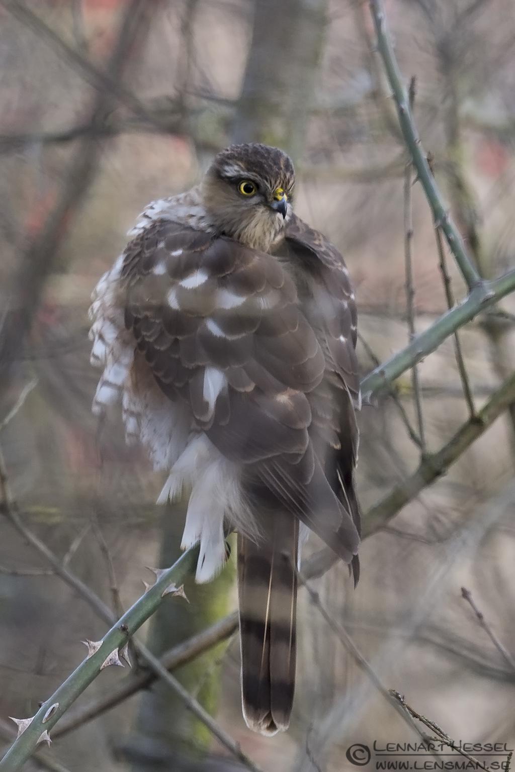 Eurasian Sparrowhawk Hungary Birds of Prey