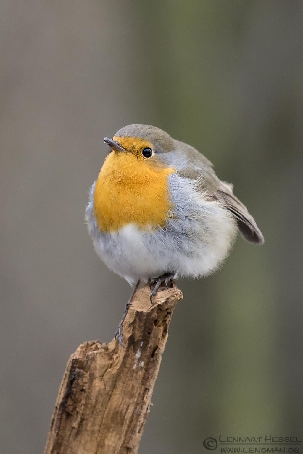 European Robin Hungary Birds of Prey