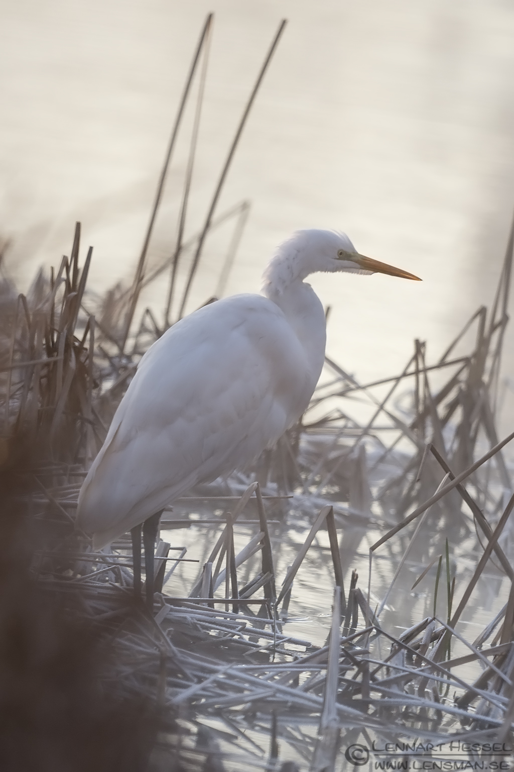 Great White Egret Hungary Birds of Prey