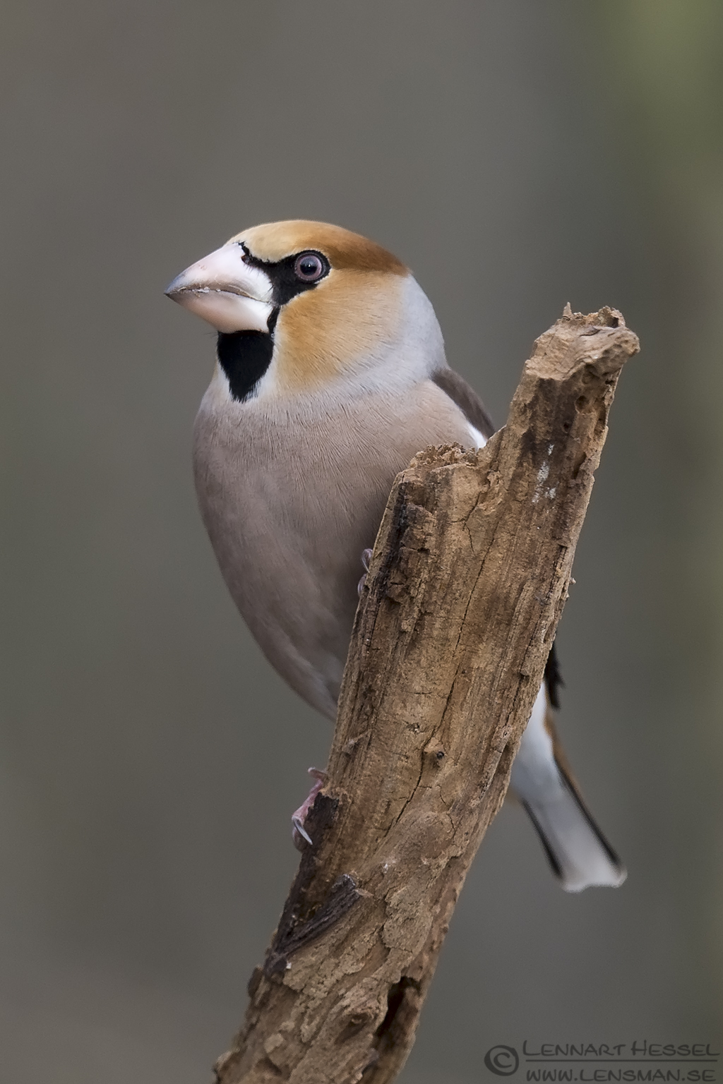 Perching Hawfinch Hungary Birds of Prey