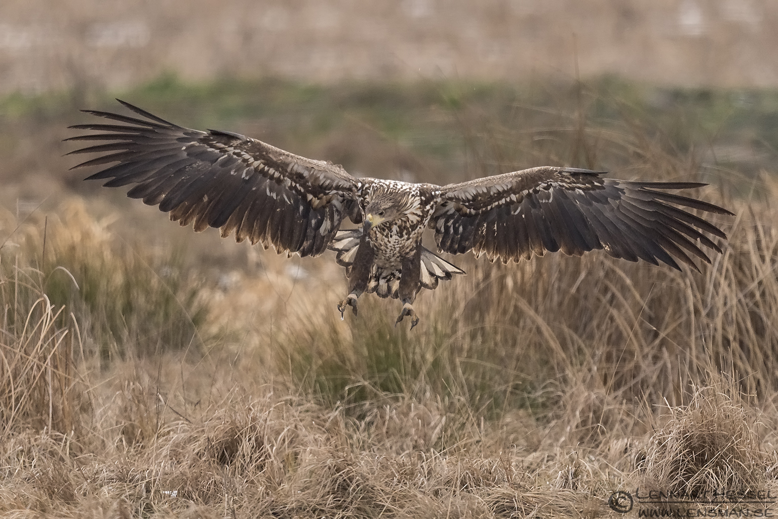White-tailed Eagle Hungary Birds of Prey