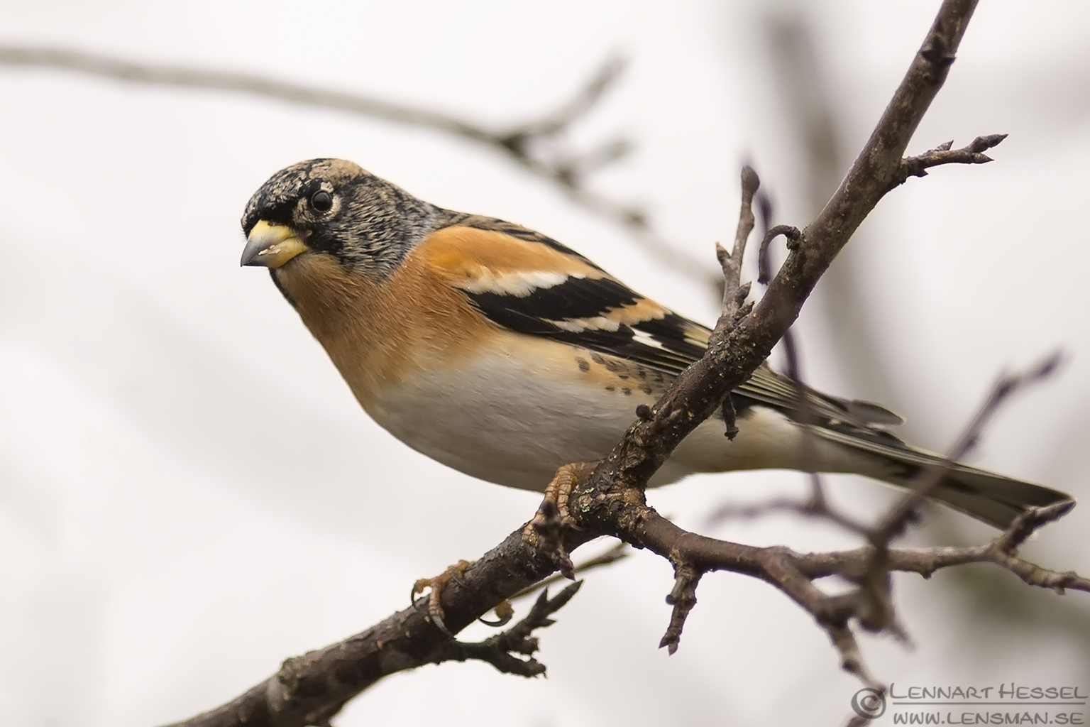 Brambling Hungary Birds of Prey