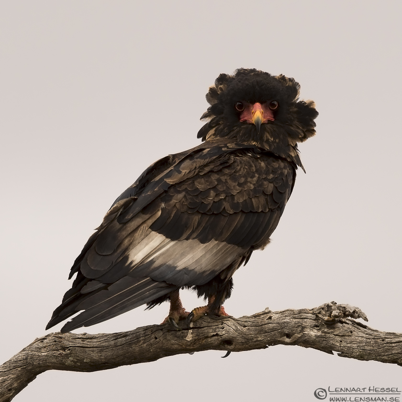 Bateleur Kruger National Park South Africa