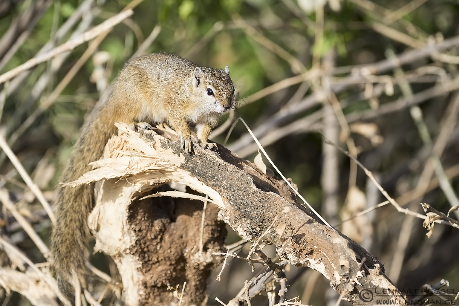 Ground Squirrel Kruger National Park South Africa