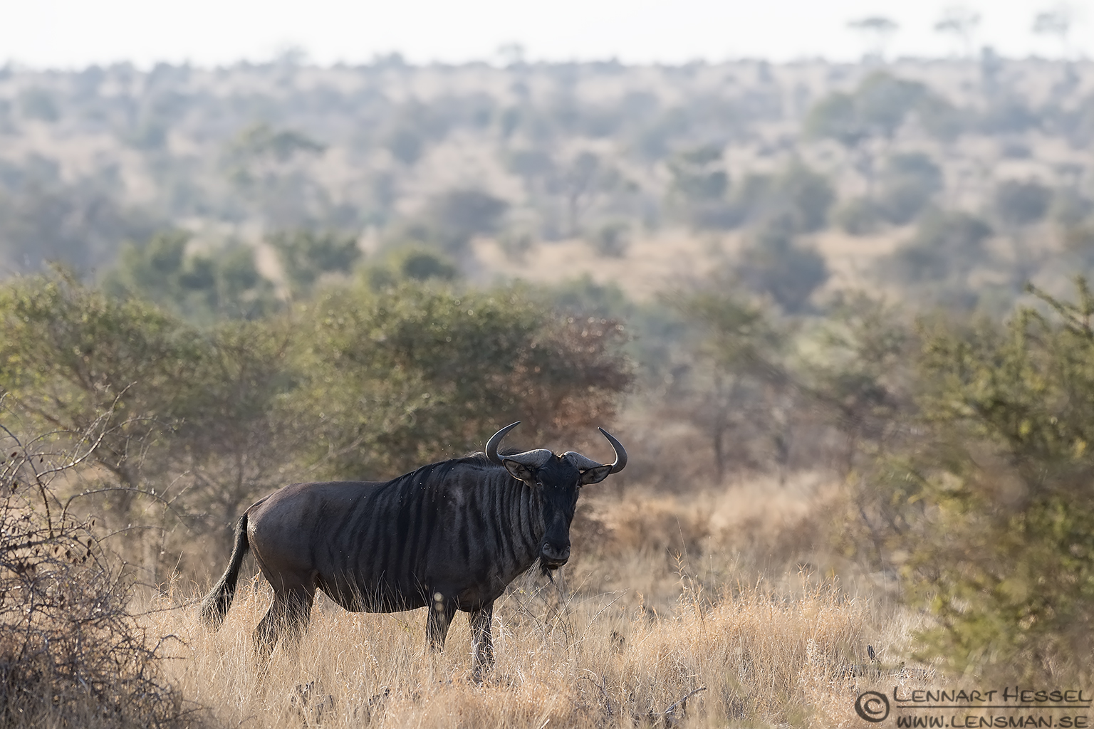 Blue Wildebeast Kruger National Park South Africa