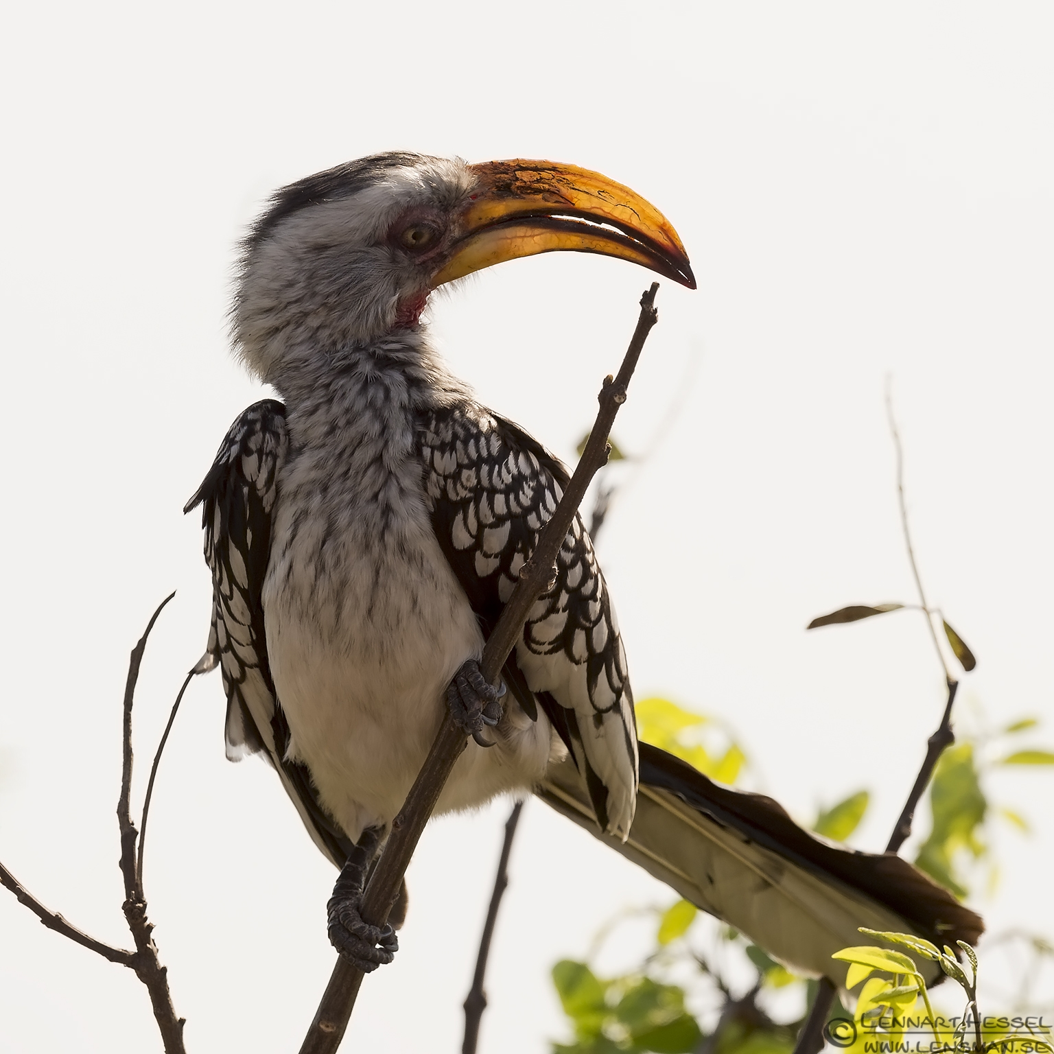 Southern Yellow-billed Hornbill Kruger National Park South Africa