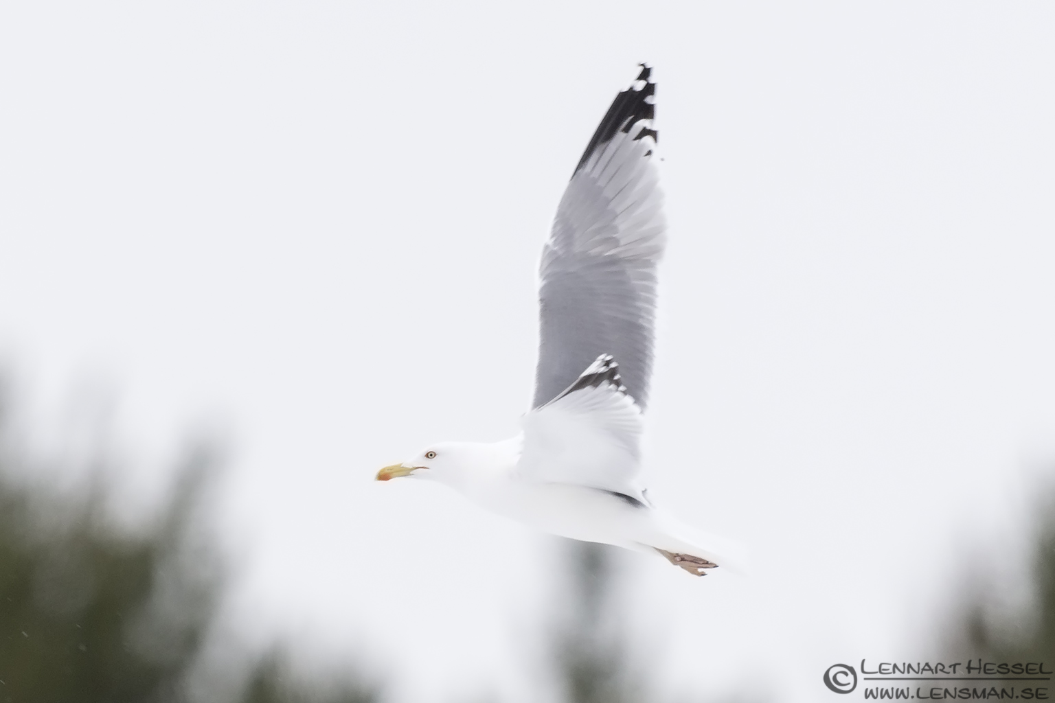 European Herring Gull Eagle Photography