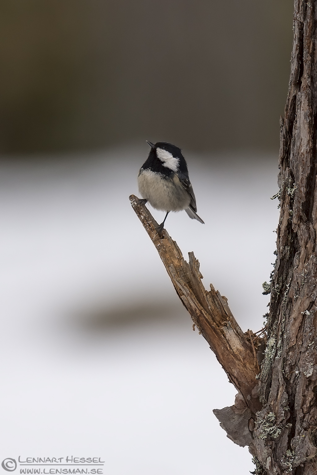 Coal Tit Eagle Photography