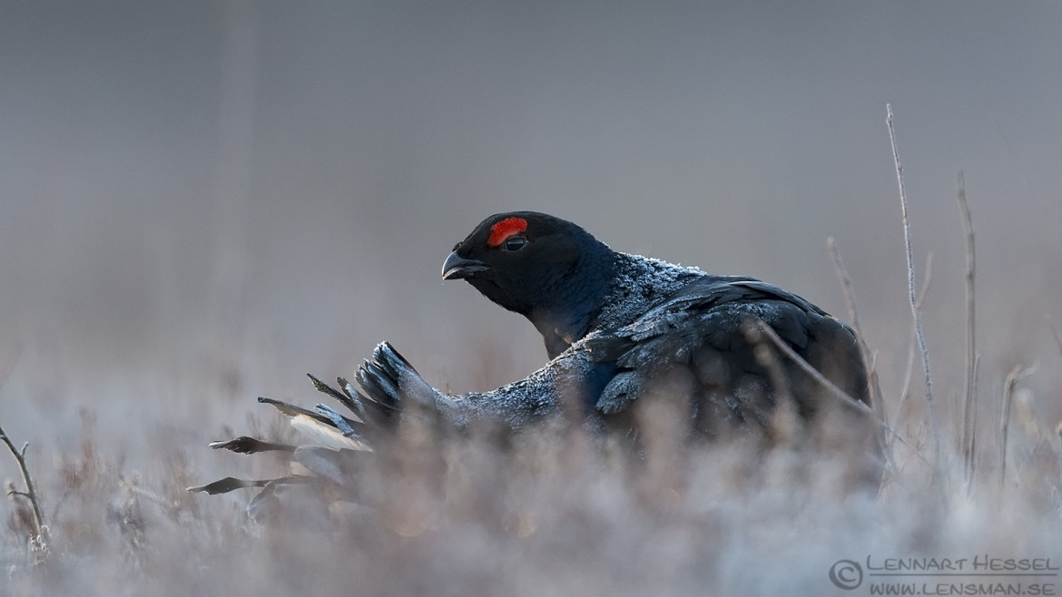Black Grouse and twigs low angle photography