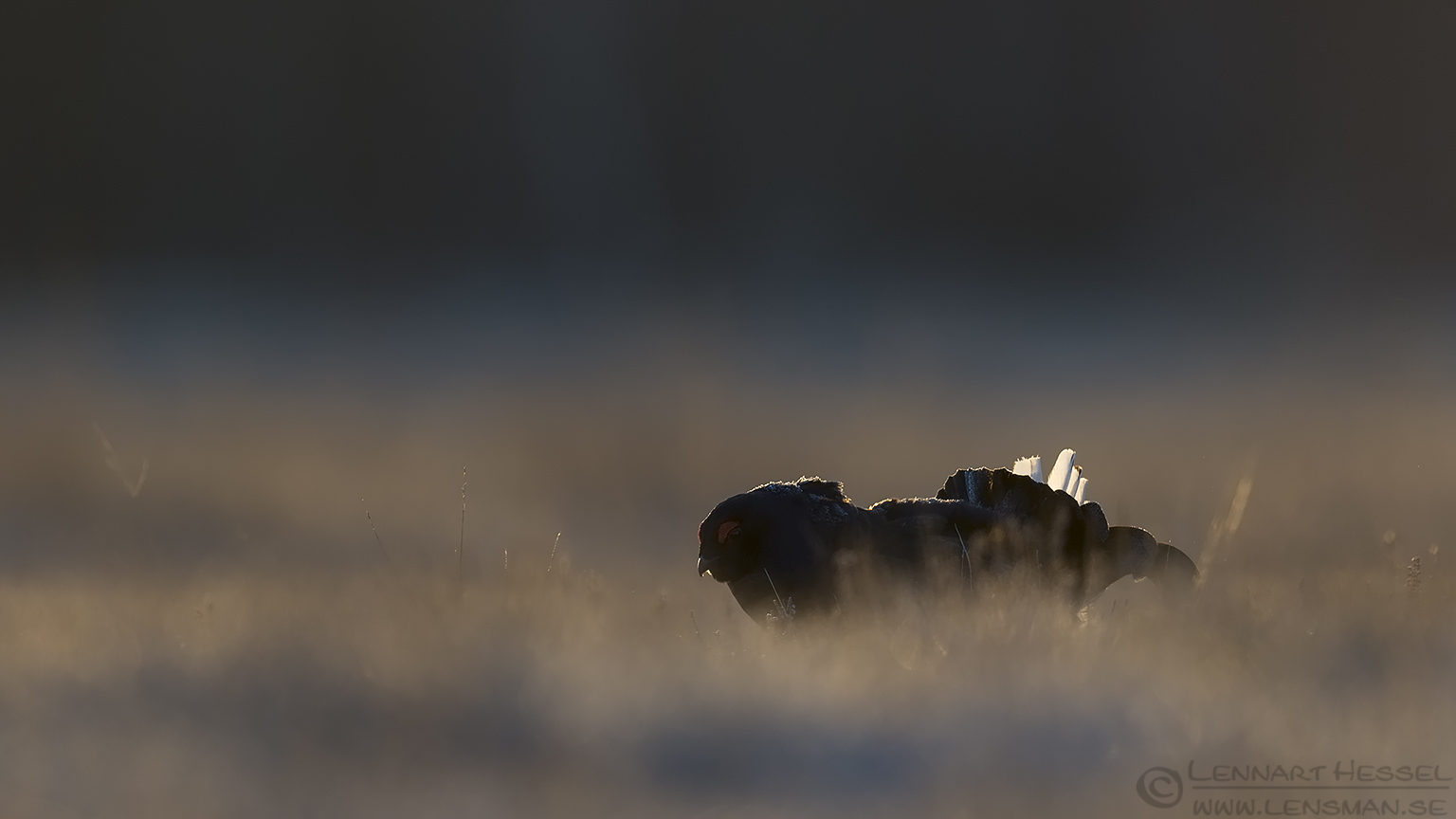 Black Grouse start lek season